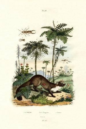common-european-earwig-1833-39