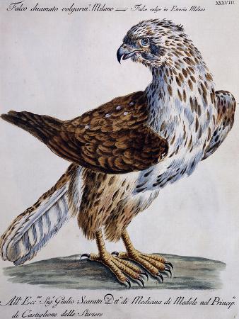 common-falcon-known-as-milano-falco-vulgo-in-etruria-milano