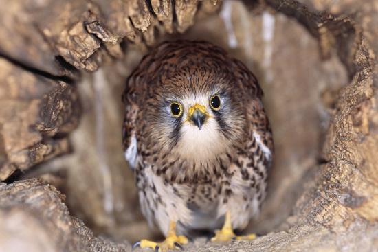 common-kestrel-at-nest-head-on-both