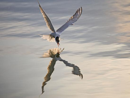 common-tern-takes-fish-at-sunset