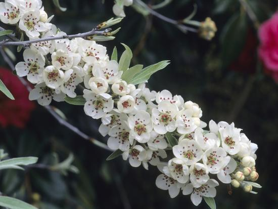 consumer-institute-nsil-flowers-of-the-weeping-silverleaf-pear-pyrus-salicifolia-pendula-variety