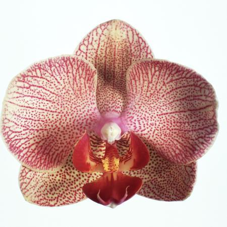 cora-buttenbender-speckled-orchid