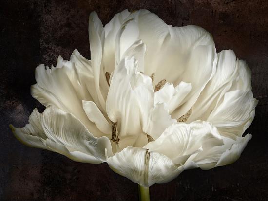 cora-niele-double-white-tulip