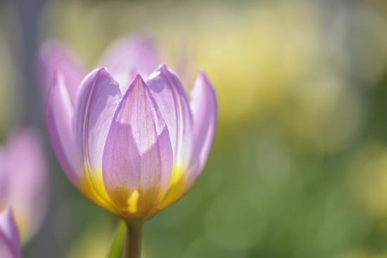 cora-niele-tulip-lilac-wonder