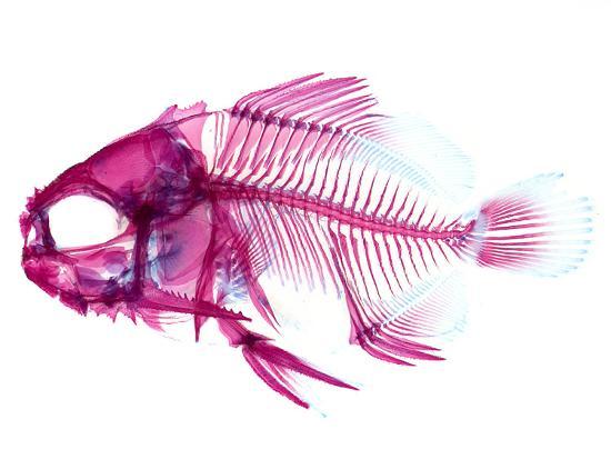 coradion-fish