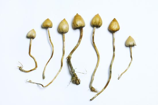 cordelia-molloy-magic-mushrooms-psilocybe-semilanceata