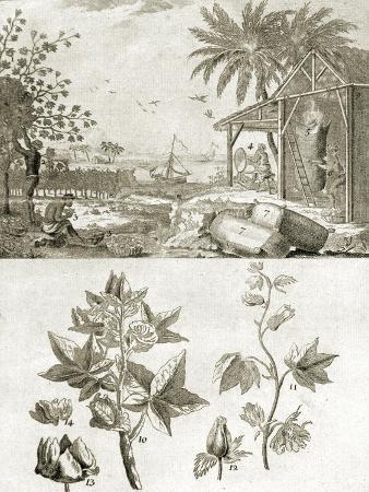coton-or-the-cotton-plant