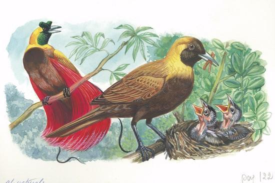 couple-of-red-birds-of-paradise-paradisaea-rubra-female-feeding-chicks-in-nest