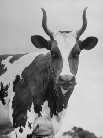 cow-standing-on-edward-e-wilson-s-farm-son-of-general-motors-pres-charles-erwin-wilson