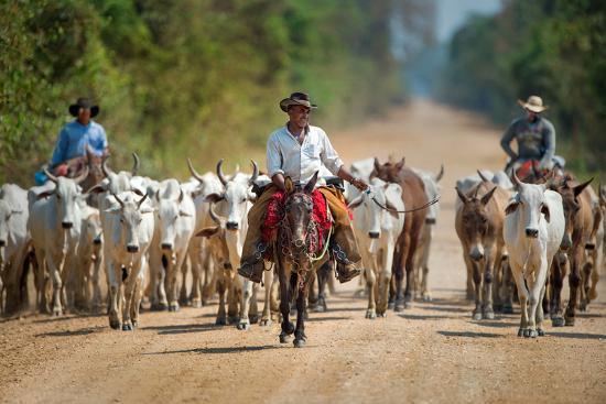 cowboy-herding-cattle-pantanal-wetlands-brazil