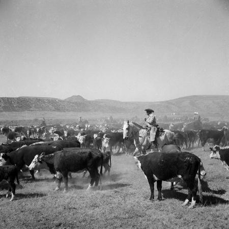 cowboys-of-the-bannock-shoshone-are-shown-during-the-annual-fall-roundup-of-cattle