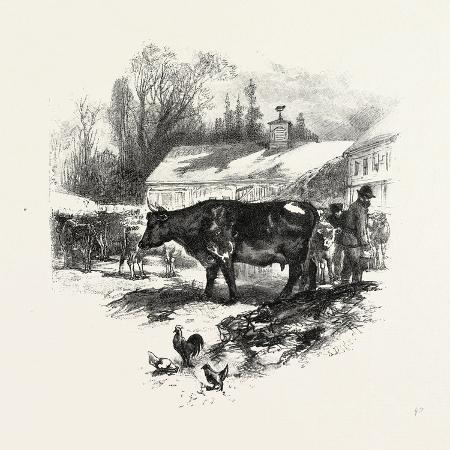 cows-farm-canada-nineteenth-century