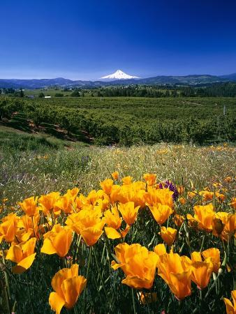 craig-tuttle-california-poppies-and-mount-hood
