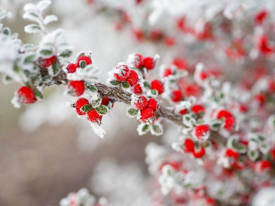 craig-tuttle-frost-covered-berries
