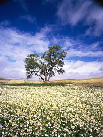 craig-tuttle-oak-tree-in-field-of-daisies