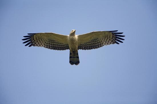 crested-honey-buzzard-in-flight