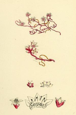 cuscuta-epithymum-lesser-dodder