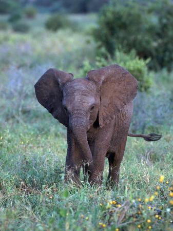 d-robert-franz-african-baby-elephant-luxodonta-africana-tanzania