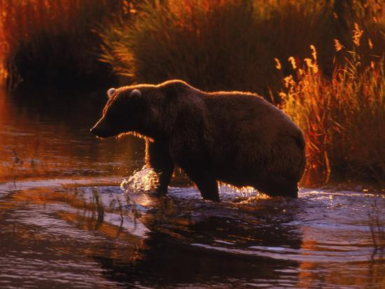 d-robert-franz-grizzly-bear-ursus-arctos-middendorffi-ak