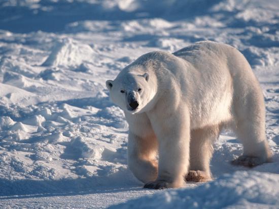 d-robert-franz-polar-bear-manitoba-canada