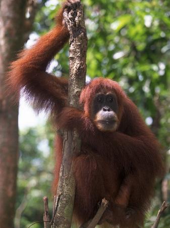 d-robert-franz-sumatran-orangutan-pongo-pygmaeus-indonesia
