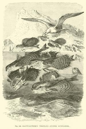 dactylopterus-volitans-flying-gurnards