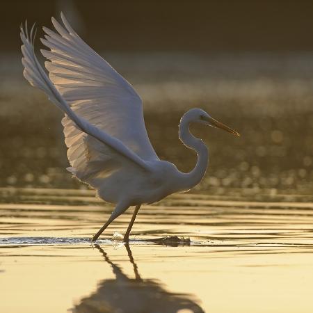 damschen-great-egret-ardea-alba-landing-on-water-elbe-biosphere-reserve-lower-saxony-germany