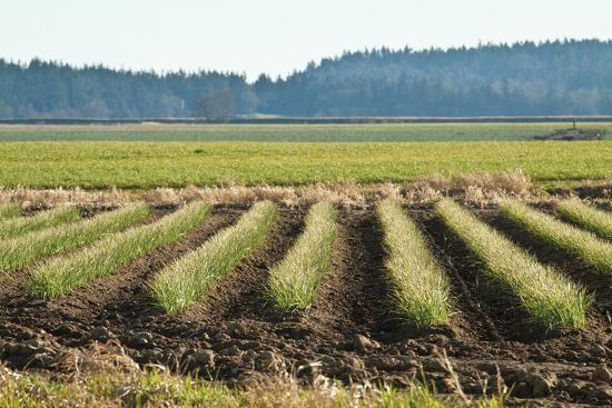 dana-styber-golden-green-rows