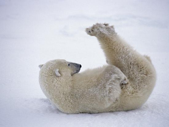 daniel-cox-polar-bear-rolling-in-snow-and-playing-with-feet