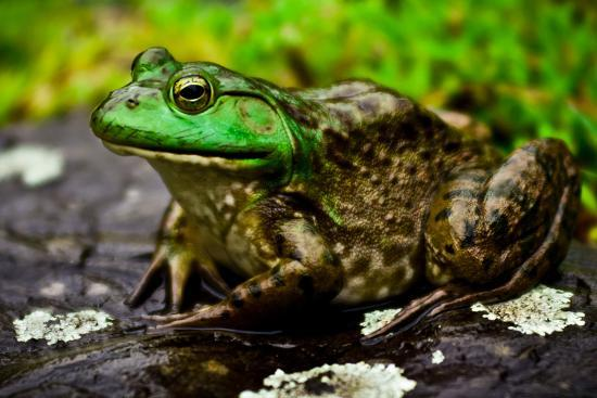 daniel-gambino-fat-bull-frog-lords-over-connecticut-water