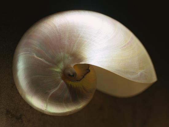 danilo-calilung-pearly-nautilus-shell