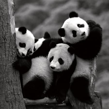 danita-delimont-pandas