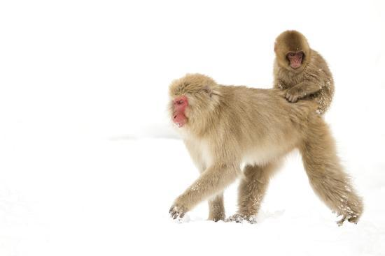 danny-green-japanese-macaque-macaca-fuscata-carrying-young-on-back-through-snow-nagano-japan-february