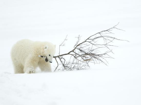 danny-green-polar-bear-ursus-maritimus-cub-playing-with-branch-churchill-canada-november