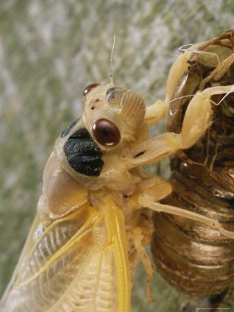 darlyne-a-murawski-a-brood-x-17-year-cicada-emerges-from-its-nymphal-exoskeleton