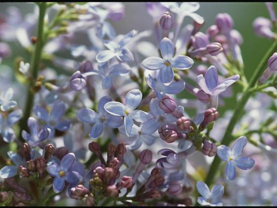 darlyne-a-murawski-blossoming-hyacinthiflora-lilacs