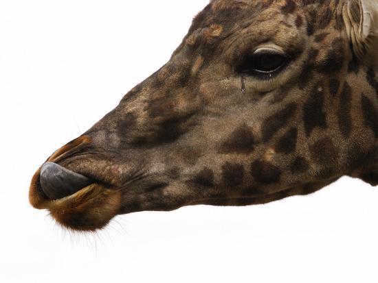 darlyne-a-murawski-captive-giraffe-licking-its-lips-at-meal-time-providence-zoo-providence-rhode-island