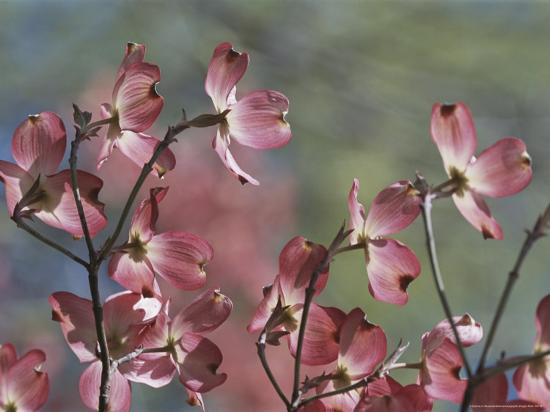 darlyne-a-murawski-close-view-of-pink-dogwood-blossoms
