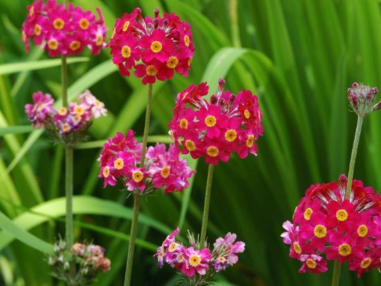 darlyne-a-murawski-cluster-of-candelabra-primula-flower-stalks
