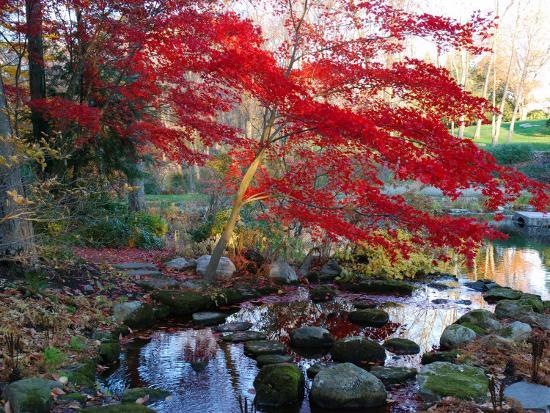 darlyne-a-murawski-japanese-maple-with-colorful-red-foliage-at-a-stream-s-edge-new-york