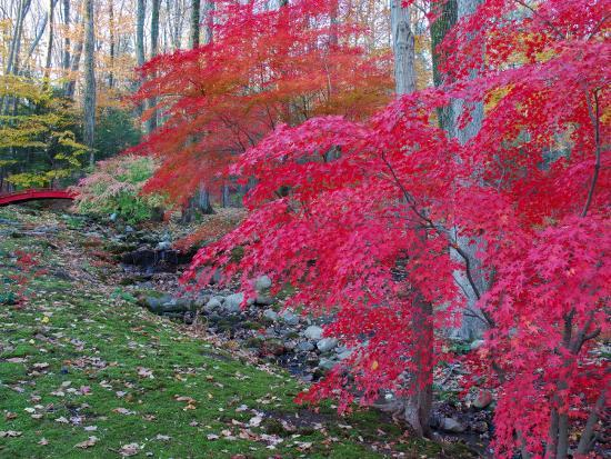 darlyne-a-murawski-japanese-maples-with-colorful-fall-foliage-in-a-garden-new-york