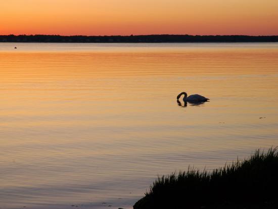darlyne-a-murawski-mute-swan-feeding-in-the-narragansett-bay-at-dawn-cranston-rhode-island