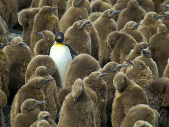darrell-gulin-adult-king-penguin-with-group-of-juveniles