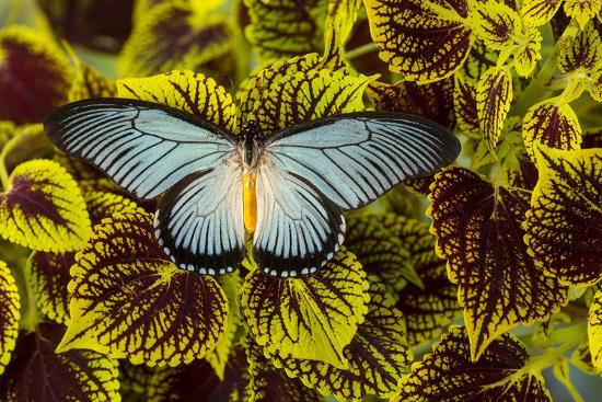 darrell-gulin-african-giant-blue-swallowtail-butterfly-papilio-zalmoxis