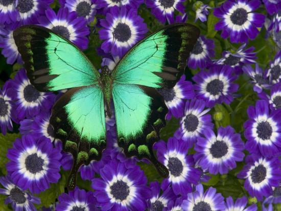 darrell-gulin-albertisi-swallowtail-on-flowers