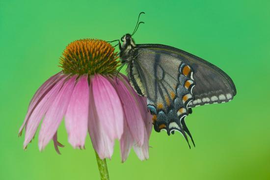 darrell-gulin-black-form-of-eastern-tiger-swallowtail-butterfly