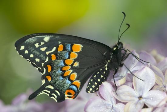 darrell-gulin-black-swallowtail-butterfly