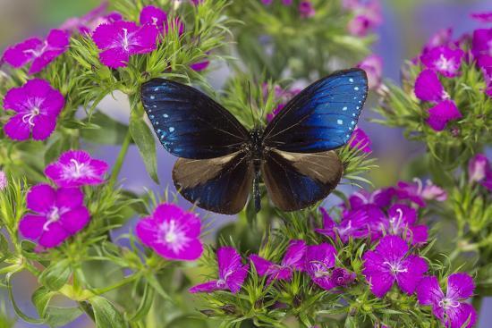 darrell-gulin-blue-crow-butterfly-euphoea-mulciber-subvisaya