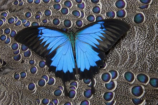 darrell-gulin-blue-mountain-butterfly-on-grey-peacock-pheasant-feather-design