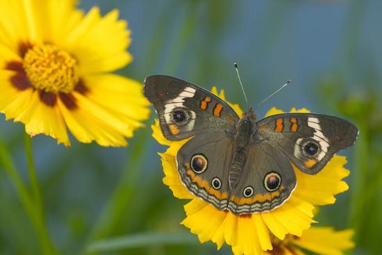 darrell-gulin-buckeye-butterfly